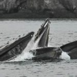 humpback lunge feeding Randy awesome